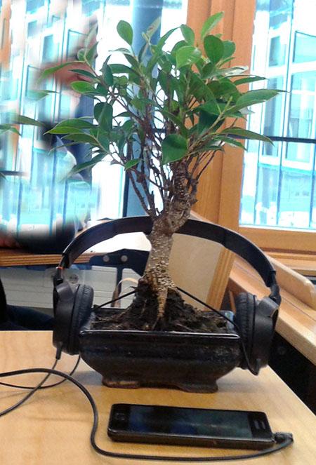 Ficus-Bonsai mit musikalischer Beschallung