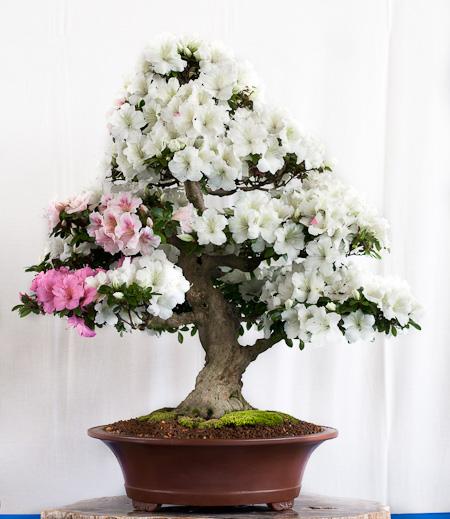 Rhododendron indicum Bonsai