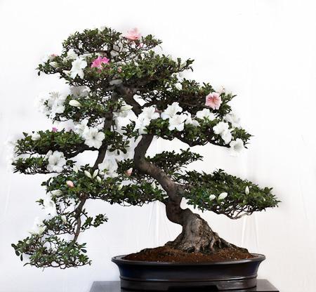 Satsuki Azalee Bonsai