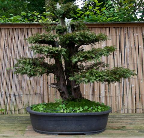 Beliebt Bevorzugt Taxus baccata – Geimeine Eibe als Bonsai #CI_71