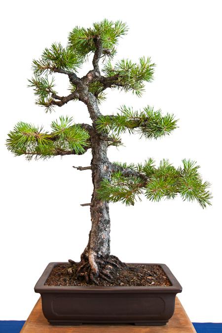 Pinus sylvestris als Bonsai