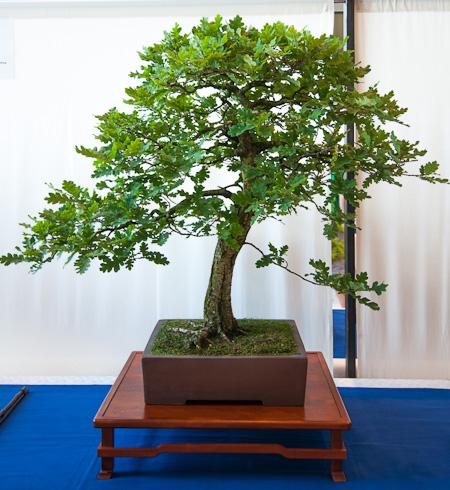 Quercus robur als Bonsai