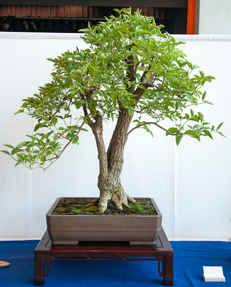 Sambucus nigra als Bonsai