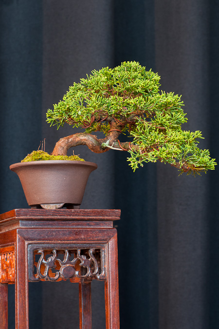 Juniperus chinesis als Shohin-Bonsai