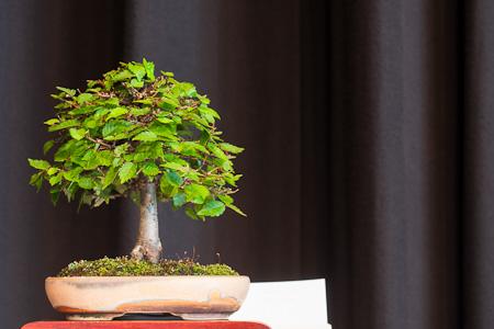 Zelkove als Shohin-Bonsai