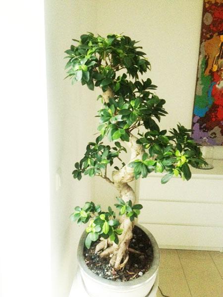 Ficus von Ulrike