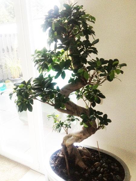 Ficus-Bonsai von Ulrike