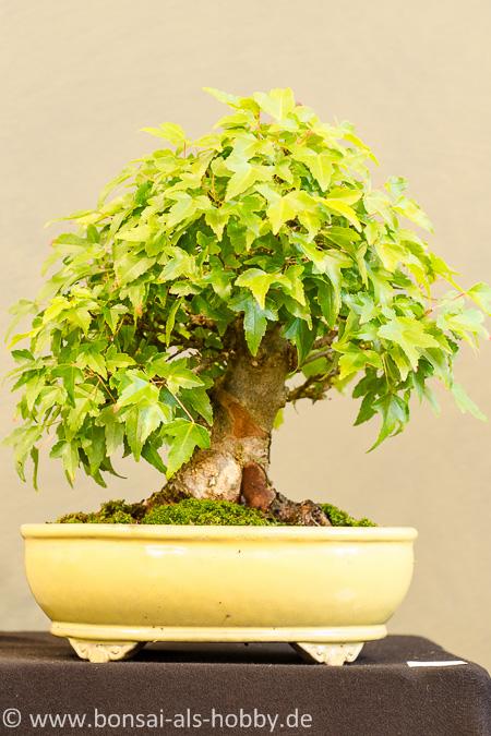 Acer buergerianum Shohin