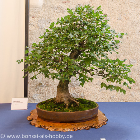 Acer monspessulanum als Bonsai
