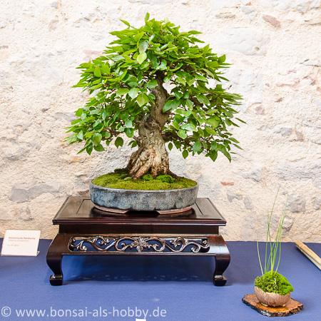 Carpinus turczaninovii als Bonsai