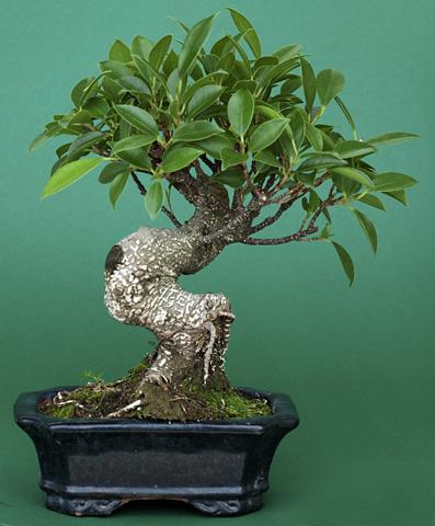Bonsai Ficus retusus