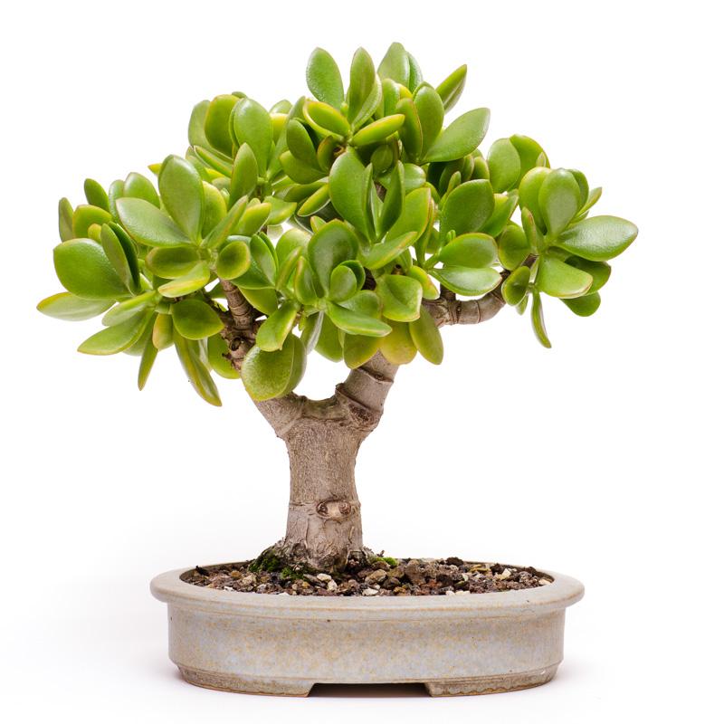 Pfennigbaum (Crassula ovata) als Bonsai 2013