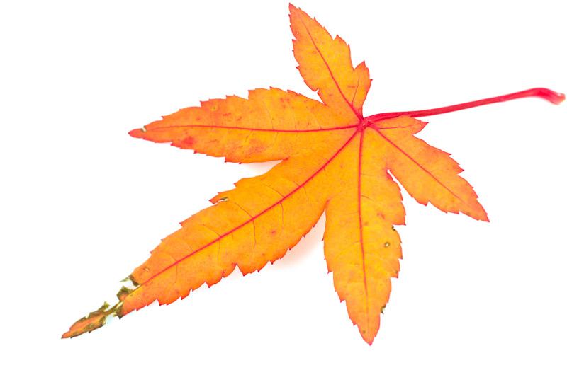Blatt vom grünen Fächerahorn im November