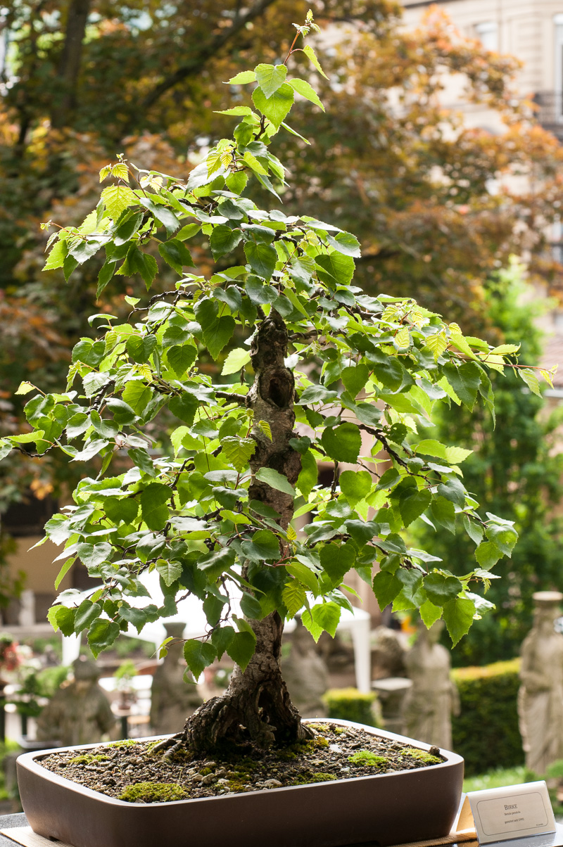 Hänge-Birke (Betula pendula) als Bonsai