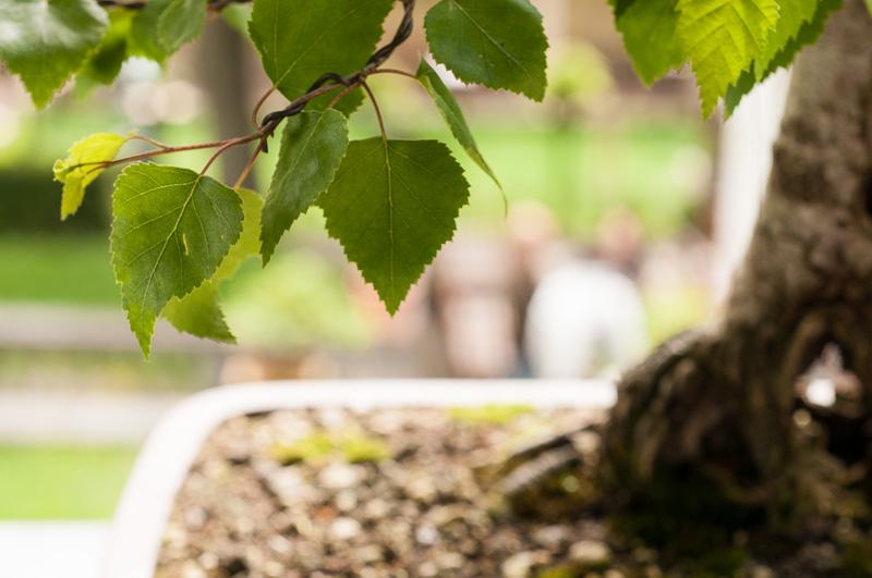 Birkenblätter (Betula pendula)