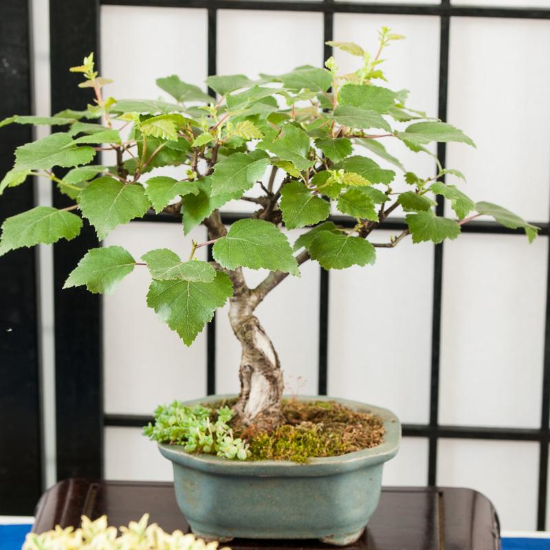 Moor-Birke (Betula pubescens) als Bonsai