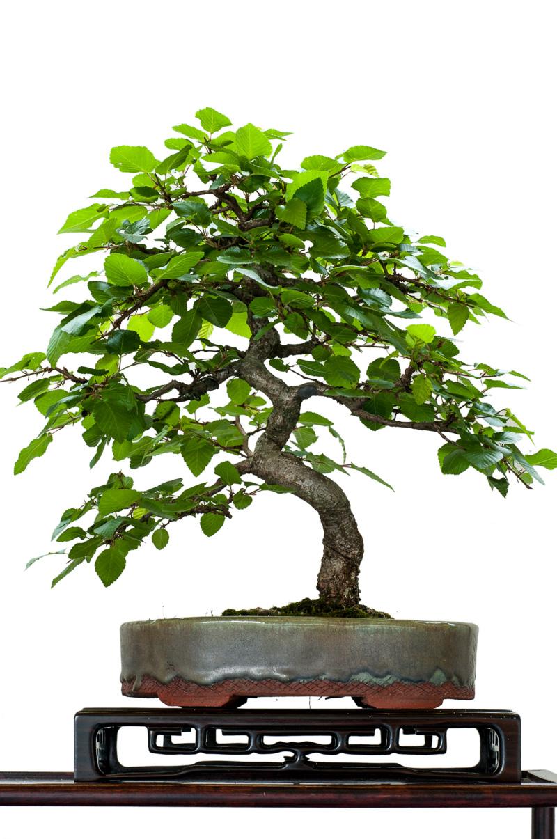 Hainbuche (Carpinus betulus) als Bonsai