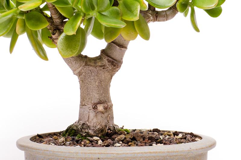 Nebari Pfennigbaum (Crassula ovata)