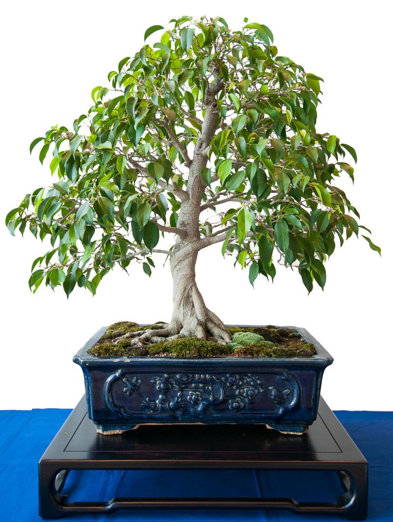Birkenfeige (ficus benjamini) als Bonsai-Baum