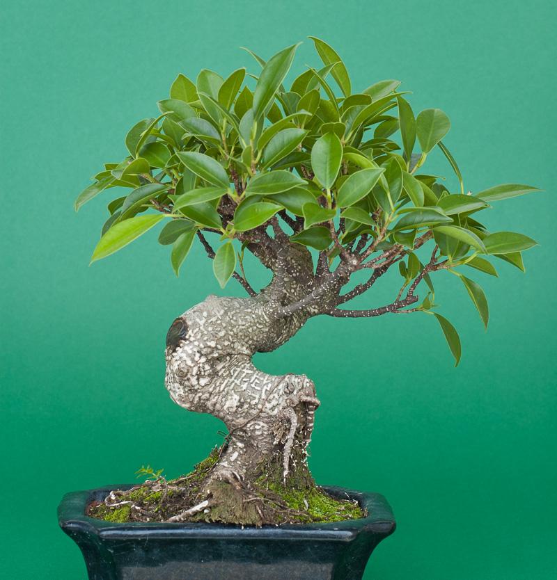 Ficus retusa als kleiner Bonsai-Baum