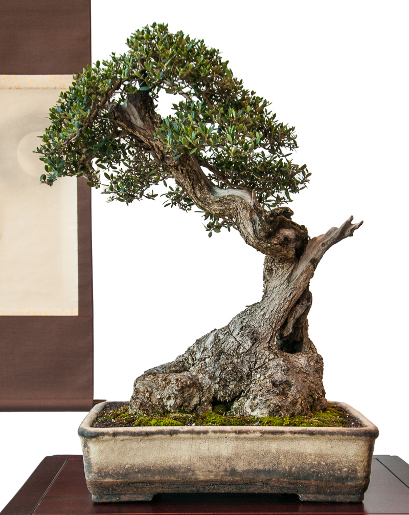 Alter Olivenbaum (Olea europea) als Bonsai