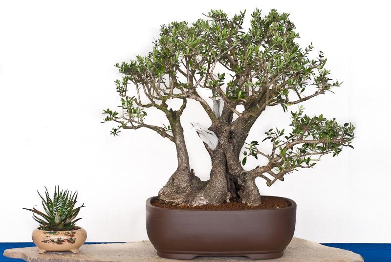 Olivenbaum-Gruppe als Bonsai