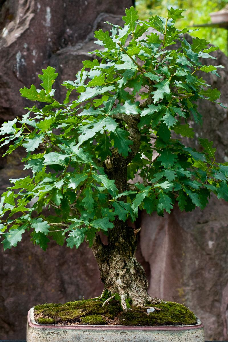 Stiel-Eiche als Bonsai-Baum