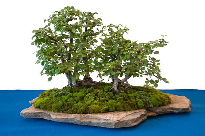 Feld-Ulmen als Bonsai-Wald