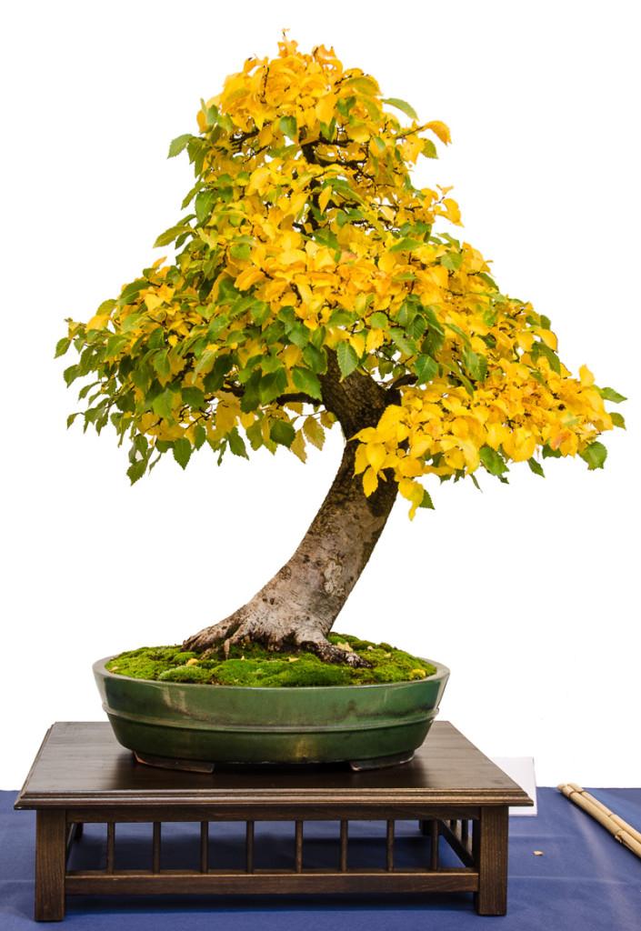 Feld-Ulme (Ulmus minor) als Bonsai-Baum