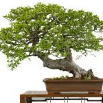 Etwa 100 Jahre alte Chinesische Ulme (Ulmus parvifolia)