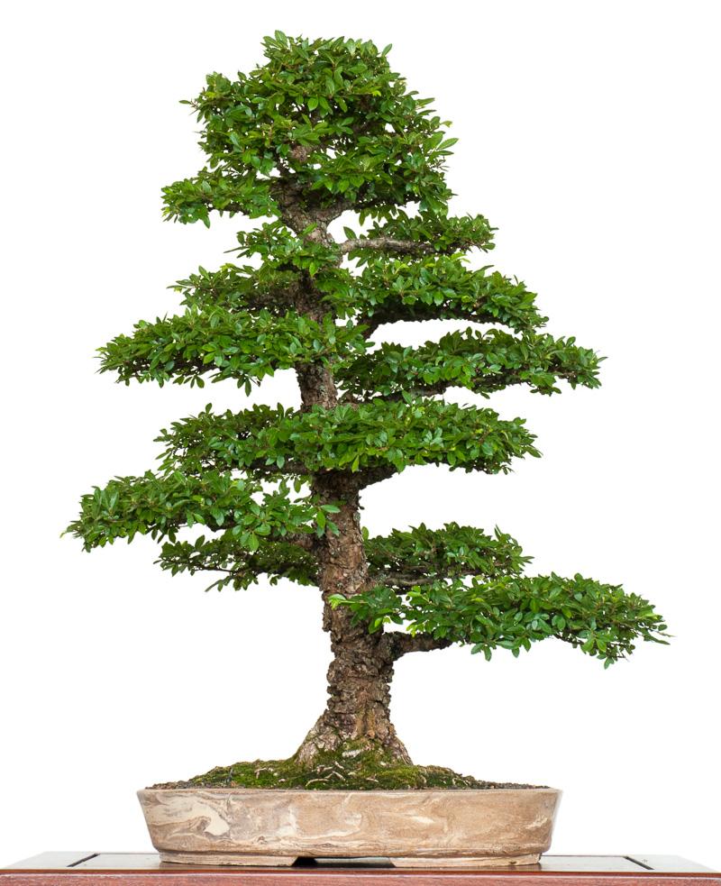 Chinesische Ulme (Ulmus parvifolia) als Bonsai-Baum in Europa auch als Zelkova nire, Korkrindenulme oder japanische Ulme im Handel