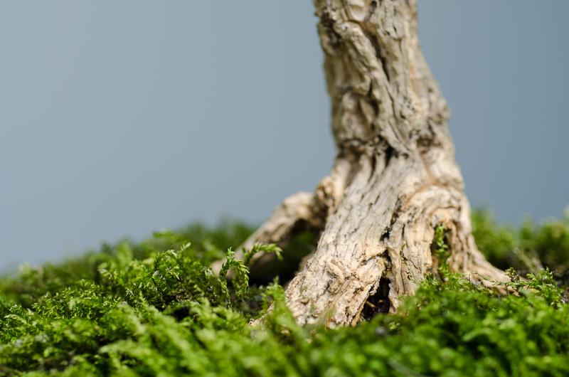 Wurzelansatz Buxus harlandii