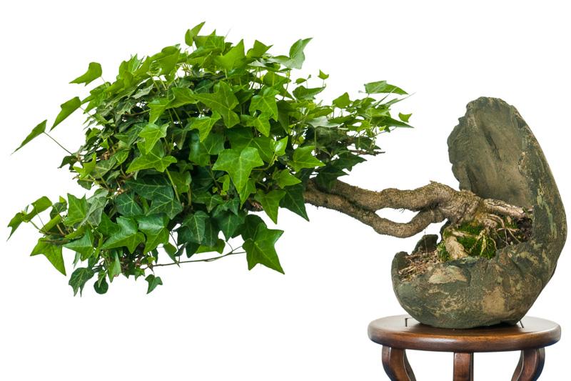 Efeu (Hedera helix) als Bonsai-Baum