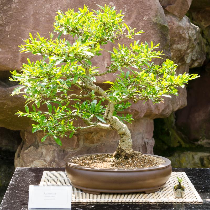 Lugster bzw. Rainweide (Ligustrum vulgare) als Bonsai