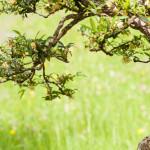 Heckenmyrte (Lonicera nitida) als Bonsai-Baum