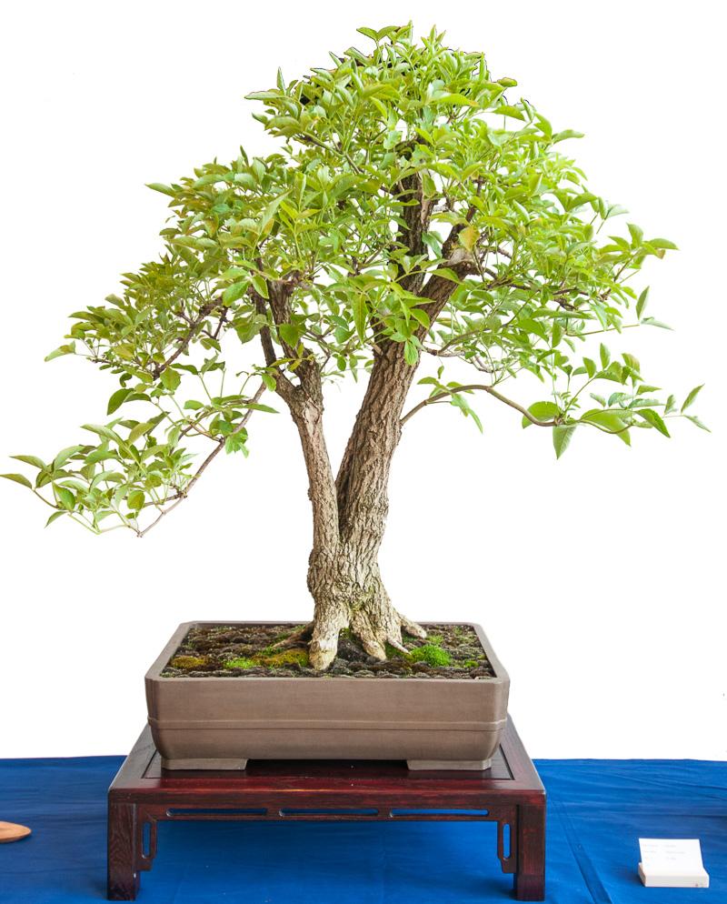 Schwarzer Holunder (Sambucus nigra) als Bonsai-Baum