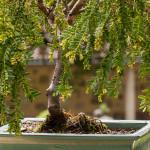 Gold-Eibe (Taxus baccata aurea) Bonsai