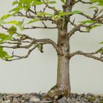 Bergulme (Ulmus glabra) als Bonsai-Baum