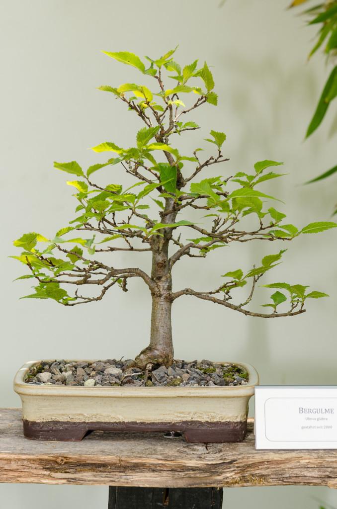 Berg-Ulme (Ulmus glabra) als Bonsai-Baum