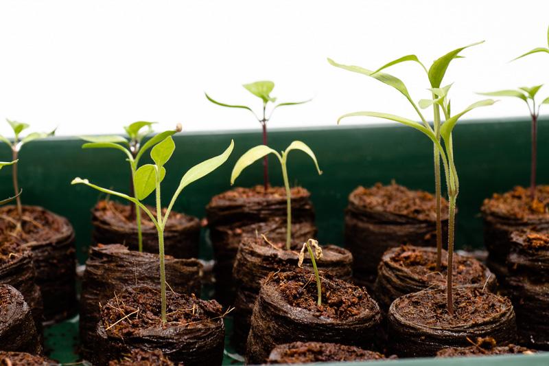 Chili-Pflanzen vier Wochen nach der Aussaat