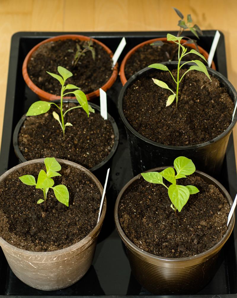 Chili-Pflanzen nach zwei Monaten