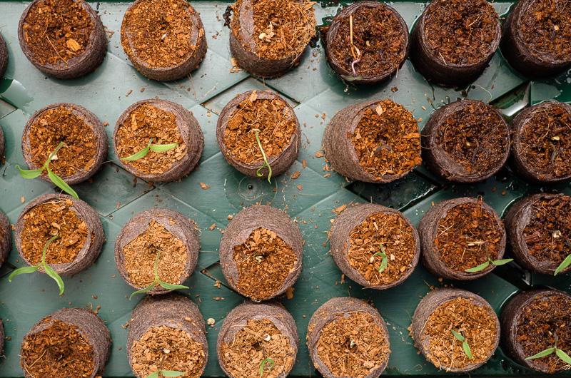 Gekeimte Chili-Pflanzen nach zwei Wochen