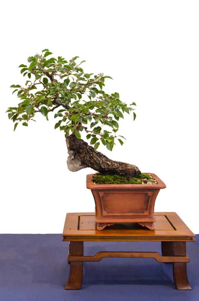 Felsenkirsche oder Steinweichsel (Prunus mahaleb) als Bonsai
