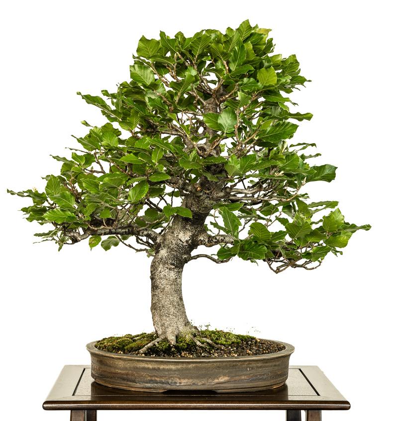 Rot-Buche (Fagus sylvatia) als Bonsai-Baum