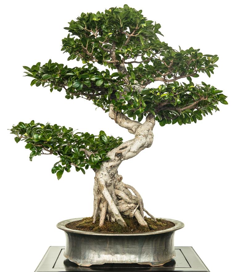 Ficus microcarpa als Bonsai-Baum