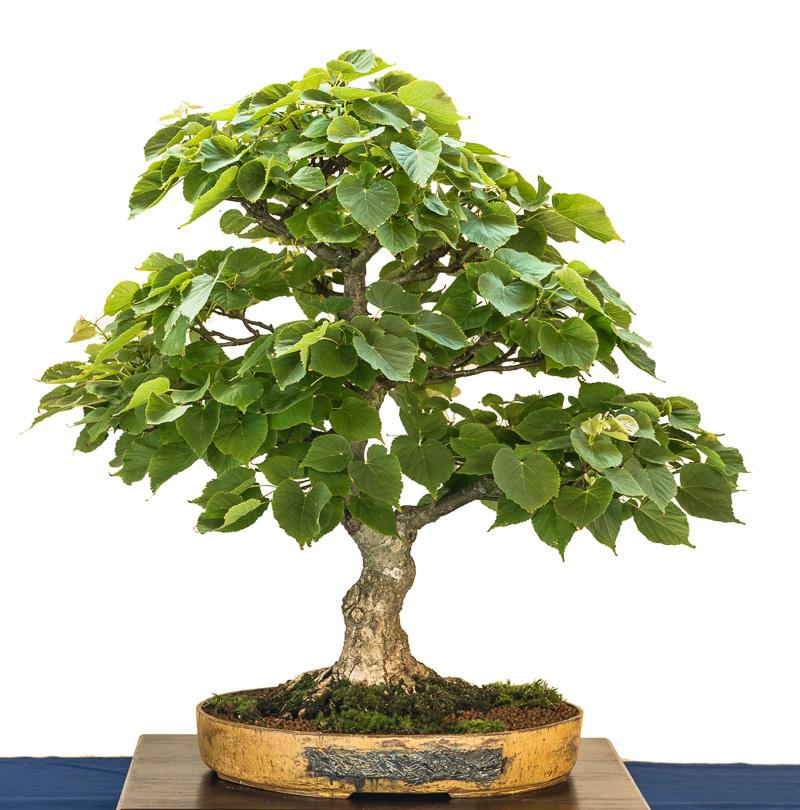 Winter-Linde als Bonsai-Baum