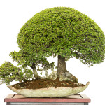 Ulmus parvifolia als Bonsai-Baumgruppe
