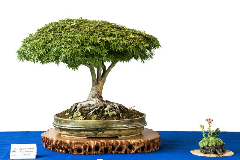 Acer palmatum Kotohime als Bonsai-Baum