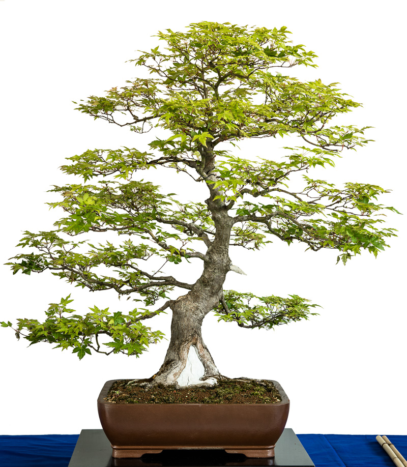 Grüner Fächerahorn mit Totholz als Bonsai-Baum