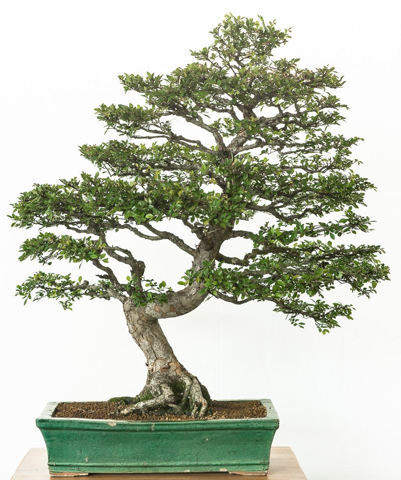 Chinesische Ulme (Ulmus parvifolia)